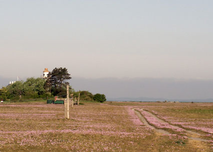 Albuen med fyret og blomstrende engelskgræs først i maj måned.