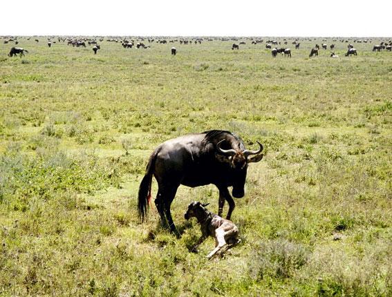 På vores tur så denne Gnu føde en kalv.