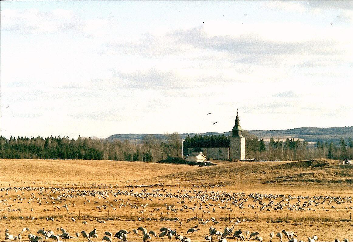 Tranerne ved Hornborgasøen i Sverige