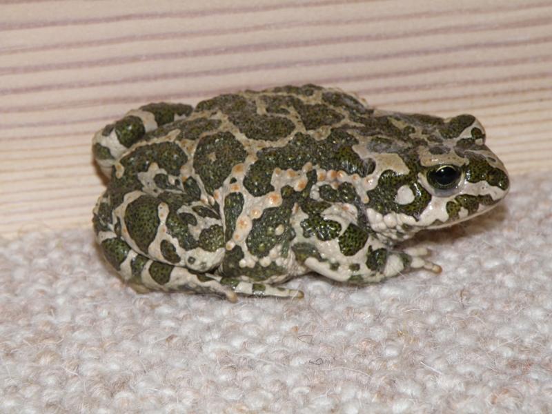 Grønbroget tudse på gulvtæppet.