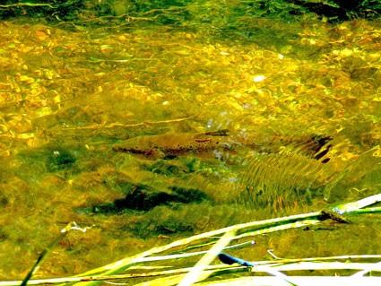 Ørreden står roligt i vandet og venter på et bytte.