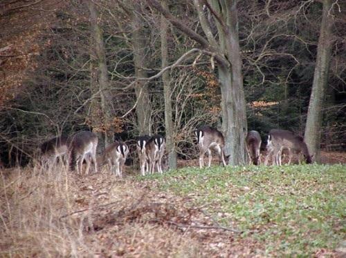 Dådyrerne på marken ved Teglstrup Skov