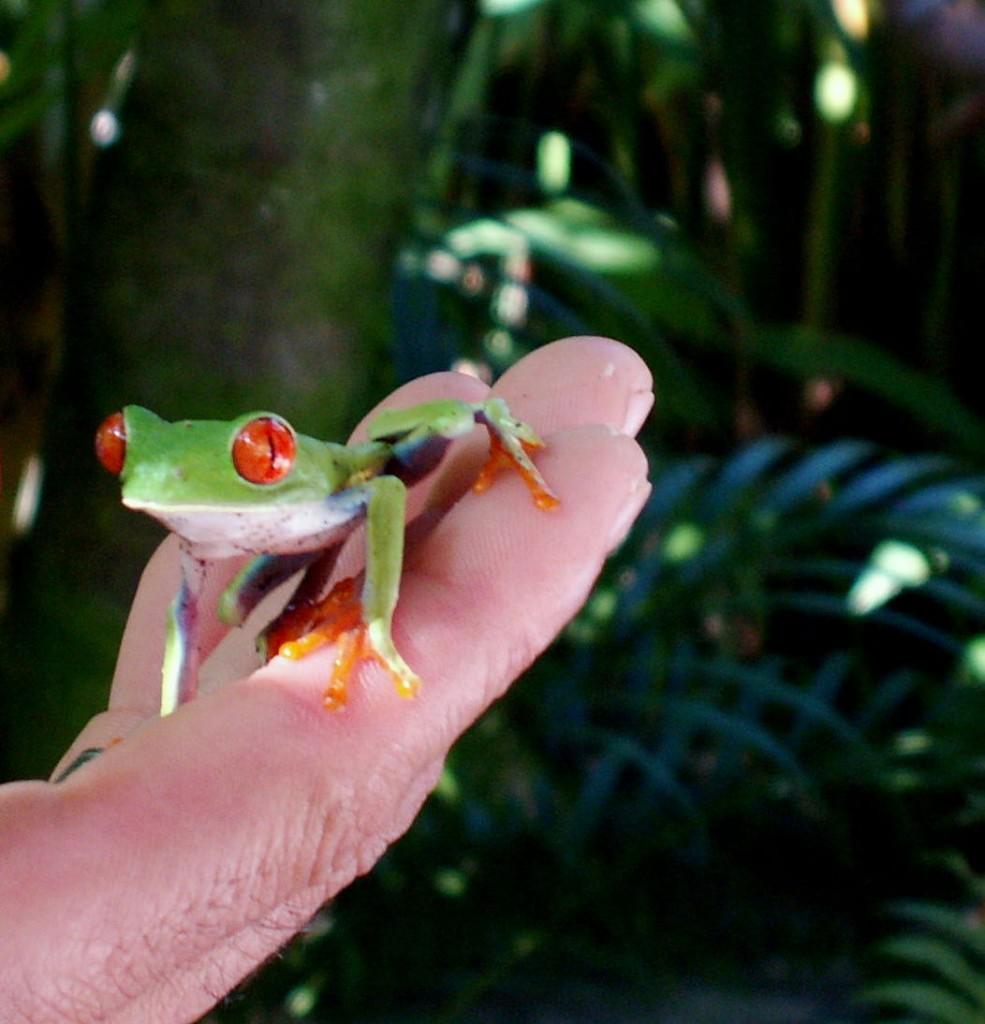 Gaudi Løvfrø i Tortoguero Costa Rica