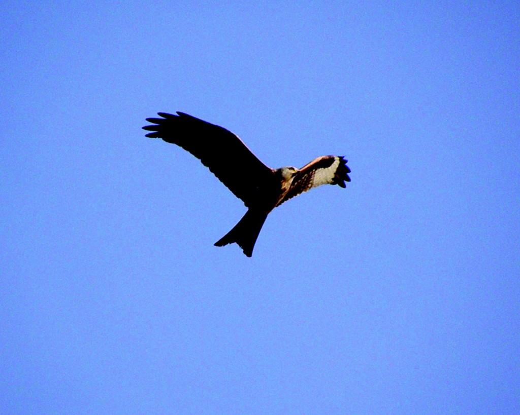 Den røde Glente er en elegant flyver, som er let genkendelig med sin kløftede hale.