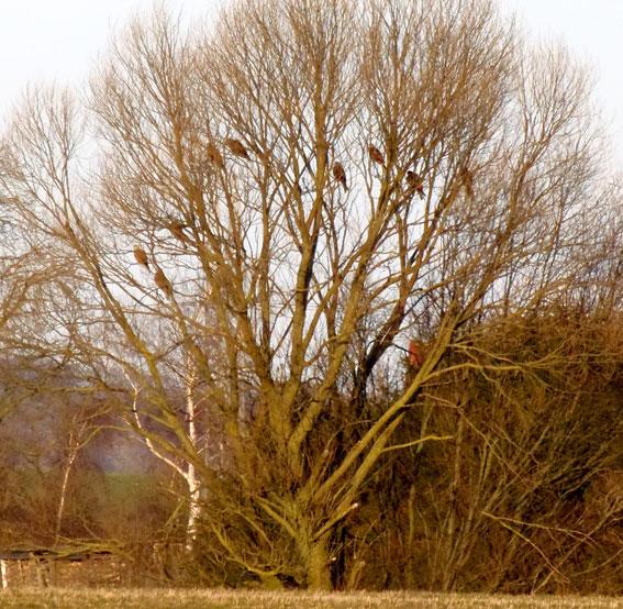 En flok glenter samlet i et træ nær Sønderød før de går til ro i et lille skovstykke i nærheden