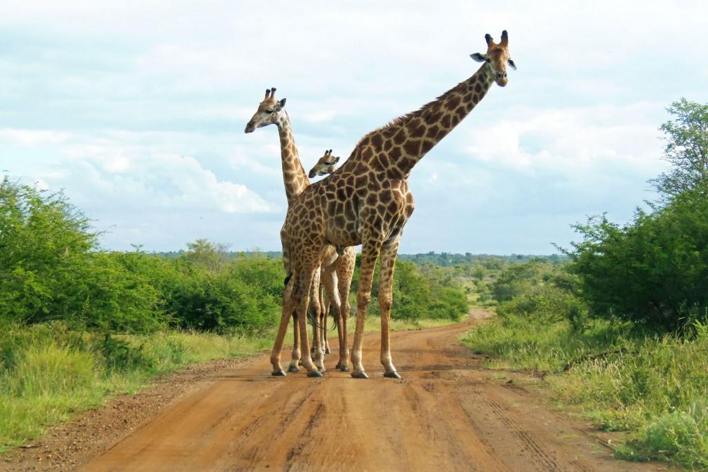 Girafferne er verdens højeste dyr. Her er de på en vej i Krüger Nationalpark, og vi må pænt vente til det passer dem at gå til side.
