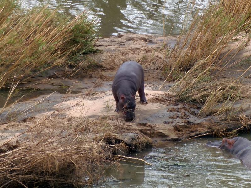 Flodhesteungen går på land medens mor holder øje.