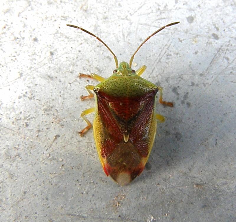 Den lever på mange forskellige løvtræer bl. a. birk, pil, røn og tjørn. Lever højt oppe i træerne bl. a. i haver og parker.