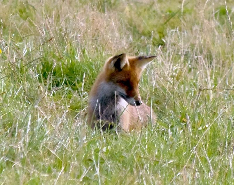Ræven spejder efter mus i i græsset.