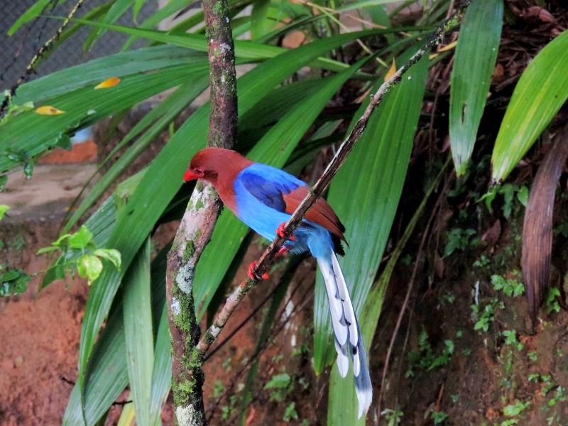 Denne Blue Magpie så vi i Sinjahara regnskoven i Sri Lanka
