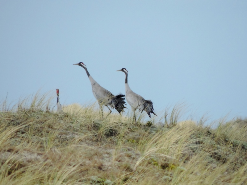 Der bliver flere og flere traner i Danmark. De yngler også i Råbjeg Mose på Skagen.