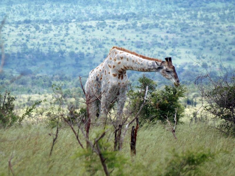 Vi er alle forskellige, og det skal vel ikke lægges nogen til last. Denne så vi i Krüger Nationalpark i Sydafrika.