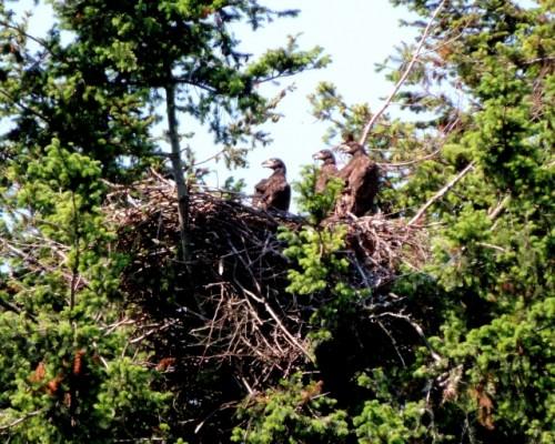 De 3 unger i reden ved Storstrømmen spejder efter om forældrefuglene kommer med mad til dem.