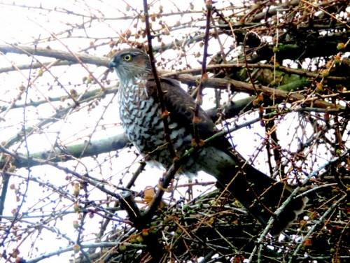 Spurvehøgen på jagt efter småfuglene i min have.
