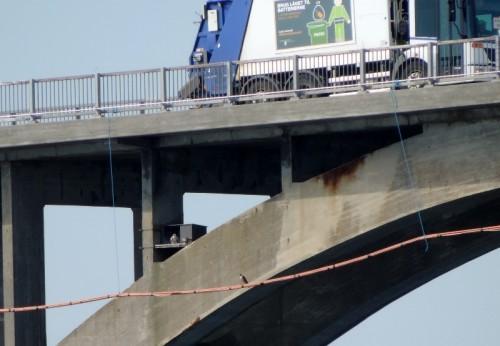 Vandrefalkene ved Mønsbroen, medens ungerne stadig var der.