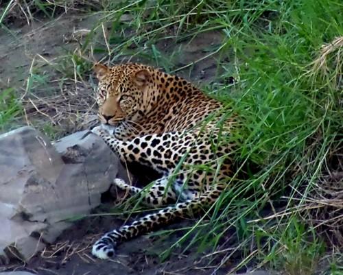 Leoparden i kløften.