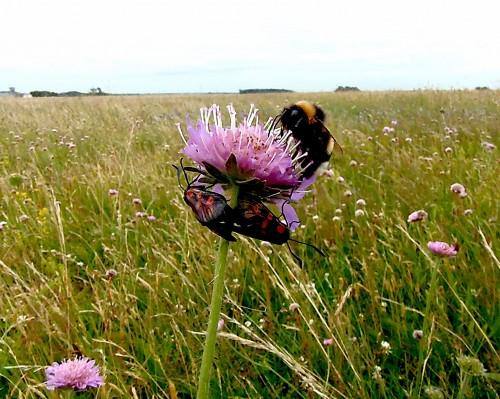 Der er kamp om nektaren - humlebi og seksplettet køllesværmer på Avnø