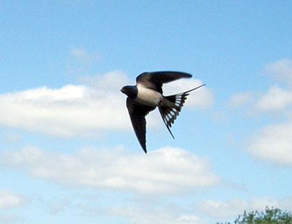 Svalen er en fantastisk flyver