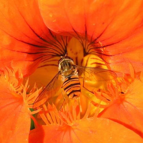 Dette er en dobbeltbåndet svirreflue, som er den mest almindelige i vores have.
