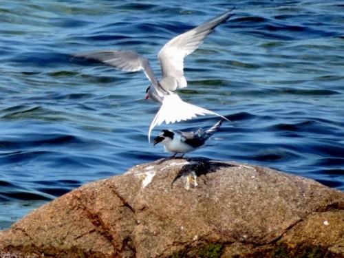 Ternen har lige givet sin unge en fladfiskeunge.